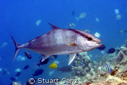 AmberJack ~ Got lucky with my macro lens. by Stuart Ganz
