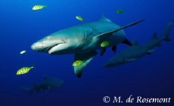 Underwater ambiance with Lemon Sharks. D50/12-24mm one st... by Moeava De Rosemont