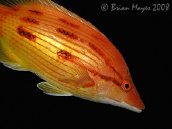 Miss Piggy, aka. a  female Red Pigfish (Bodianus unimacul... by Brian Mayes
