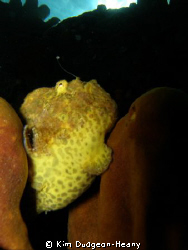 Frogfish with his lure out. Taken with an Olympus 7070 an... by Kim Dudgeon-Heany
