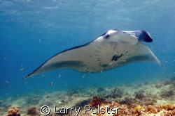 Very special Manta cleaning station, 4 to 5 meters of wat... by Larry Polster