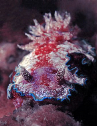 Nudibranch, Lembeh by Doug Anderson