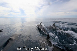 Dolphins guide us to our dive site. Tufi Dive Resort PNG by Terry Moore