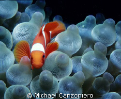 Spine cheek clownfish in a bubble anemone. Nikonos V, 15 ... by Michael Canzoniero