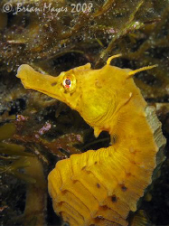 Sea Horse (Hippocampus abdominalis)<><><><>Canon G9, Inon... by Brian Mayes