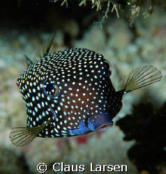 Spottet boxfish looking at the photographer