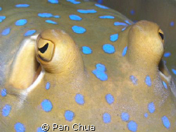 blue spotted stingray by Pan Chua