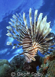 lionfish by Geoff Spiby