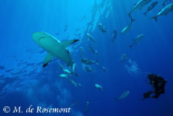 Alex and a grey reef shark cruising at Murimuri. D50/12-2... by Moeava De Rosemont