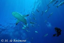 Alex and a grey reef shark cruising at Murimuri. D50/12-2... by Moeava De Rosemont