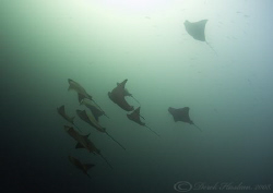 Eagle rays. Seymour. Galapagos. D200, 10.5mm. by Derek Haslam