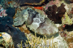 Large cuddle fish just hanging out, Nikon D-70S, twin Ike... by Larry Polster