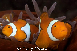 Percula Anenome Fish taken at Tufi Dive Resort PNG by Terry Moore