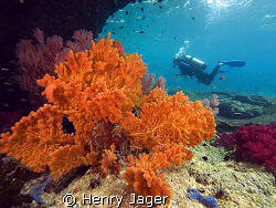"""""""Orange""""  (Corals from Raja Ampat, West Papua) by Henry Jager"""