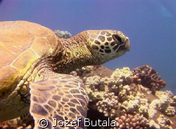 Green sea turtle,Lahaina,Maui by Jozef Butala