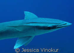 huge remora. March 2008 by Jessica Vinokur