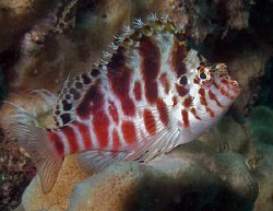 Blotched Hawkfish, Bare Island by Doug Anderson
