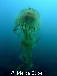 Jellyfish /c5060wz/ Fiesa, Slovenia by Melita Bubek