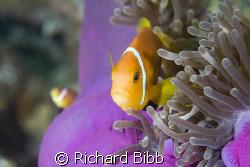 Anemone Fish (Amphiprion Nigripes). Banana Reef  Baros Ma... by Richard Bibb