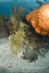 Gray Angel Fish-Florida Key Largo by Richard Goluch