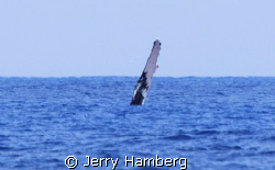 Off Maui, Hawaii a humpback whale waves to passerbyers by Jerry Hamberg