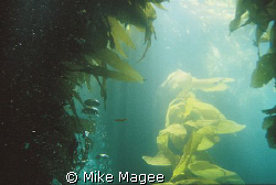 Sunlight though Kelp Forest in Catalina by Mike Magee