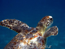 small green turtle heading for surface. Belize, March 2008 by Jessica Vinokur