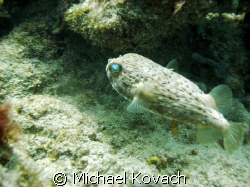 Puffer fish on inside reef at Lauderdale by the Sea.  Tak... by Michael Kovach
