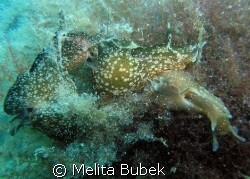 Love circle made by five sea hares (Aplysia punctata)/ Ma... by Melita Bubek