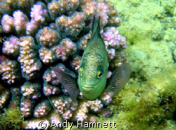 Damsel coming in for the kill!  by Andy Hamnett