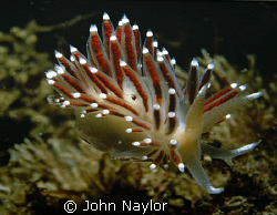nudibranch.St.Abbs marine reserve Scotland by John Naylor