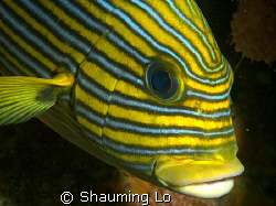 sweetlips. by Shauming Lo