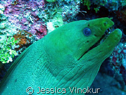 green moray in Belize. March 2008 by Jessica Vinokur