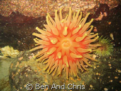 This Atlantic red anemone is wide open to collect nutrien... by Ben And Chris