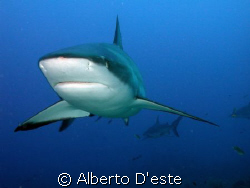 Shark feeding in Honduras (Fantasy Island) by Alberto D'este