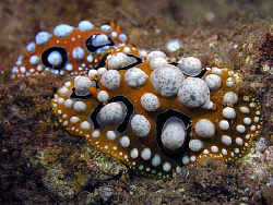 Wart slugs, Lembeh by Doug Anderson