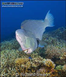Endangered Bumphead Parrotfish grazing on the reef ! Niko... by Richard Swann