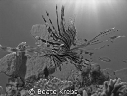 Lionfish, El Quseir , Canon S70  by Beate Krebs