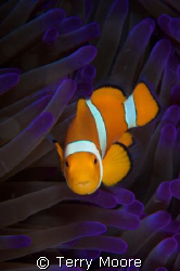 Anemone fish taken at Tufi Dive Resort PNG by Terry Moore