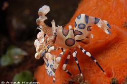 Harlequin shrimp, Hymenocera elegans. Picture taken on th... by Anouk Houben
