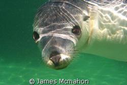 Australian Sea Lion - taken while freediving in Baird Bay... by James Mcmahon