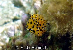 Tiny Boxfish being coy.  by Andy Hamnett
