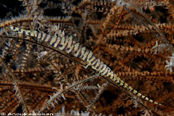 Saw blade shrimp, Tozeuma armatum. Picture taken on the S... by Anouk Houben