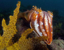 Giant Cuttle, Kurnell by Doug Anderson