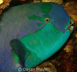Parrot fish profile. Night dive at Shaab Fandira. by Dejan Mavric