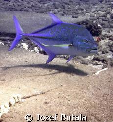 Blue Ulua by Jozef Butala