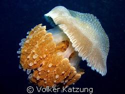 Jellyfish by Volker Katzung