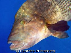 Napoleonfish by Beatrice Primatesta