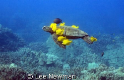 Honu with a living lei! A green seaturtle being grazed by... by Lee Newman