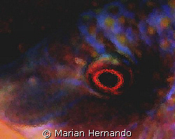Eye abstract, a blueside wrasse. Taken in Siladen, Manado... by Marian Hernando
